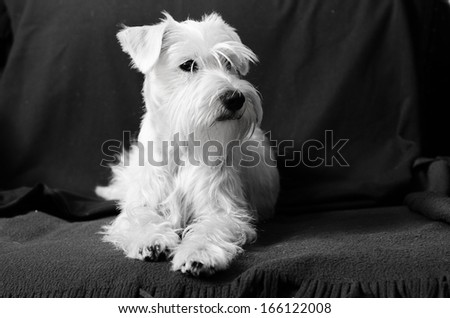 Miniature white schnauzer sitting on armchair