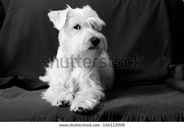 Miniature white schnauzer sitting on armchair