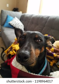 Mini-daschund Miniature Pinscher mix dog peering into camera