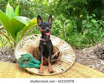 miniger dog