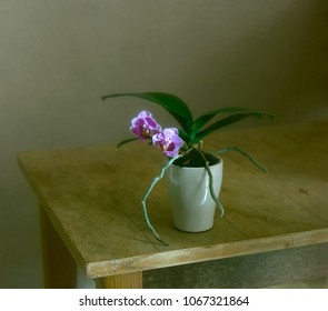 minimalism in still life. blooming orchid.