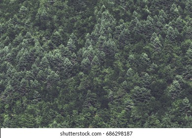 minimalist coniferous nordic forest background