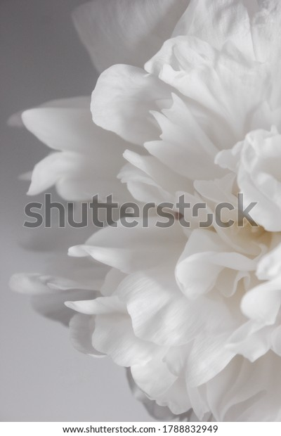 Minimalistic background with white peony flower, white floral wallpaper. Photo half of a peony flower