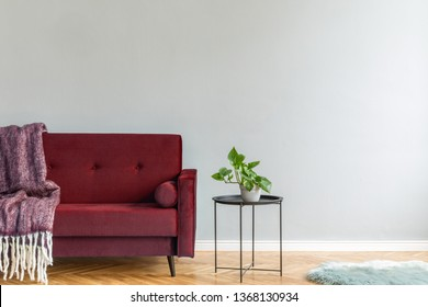 Minimalistic and luxury grey home interior with burgundy velvet design sofa, black coffe table with plant and elegant blanket. Copy space for inscription, mock up poster. Brown wooden parquet.
