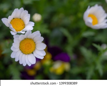 Mini-marguerite Flowers, white petals, beautiful yellow stamens, grow on green grass fields.
