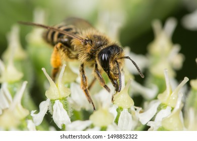 Mining Bee (Andrena flavipes) on a Flower