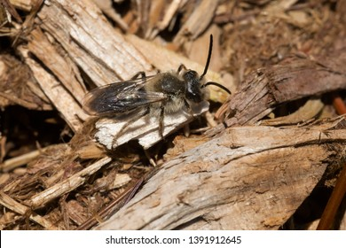 A Mining Bee is resting on some wood chips. Stan Wadlow Park, Toronto, Ontario, Canada.
