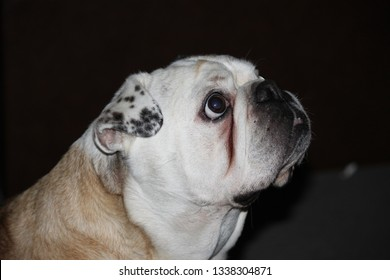 Miniture Australian Bulldog