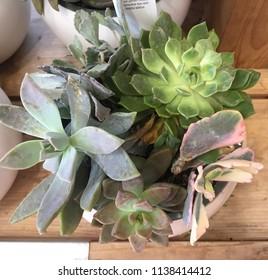 Miniture cactus, succulent plants in a small pot