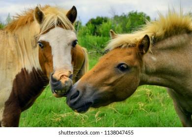 Miniture Shetland Ponies