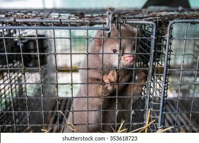 The mink in the cage. Mink farm