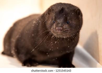 Mink fur farming