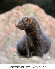 Mink in the natural stony environment.