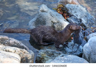 Mink with prey near the lake.