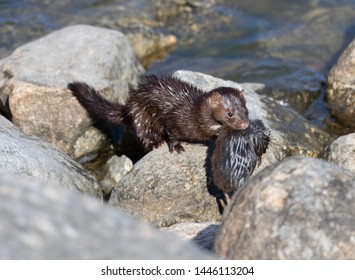 Mink with prey near the lake
