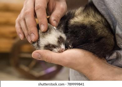 Mink sleeping in hands