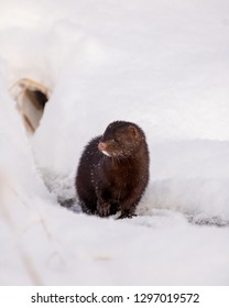 mink in the snow outside of a hole