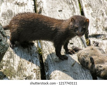 Mink standing on a wooden boardwalk with a freshly killed young Muskrat