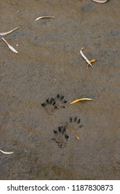Mink tracks in mud on riverbank