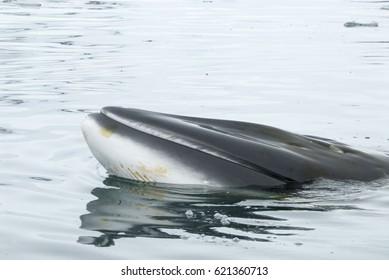 A minke whale in Antarctic Peninsula