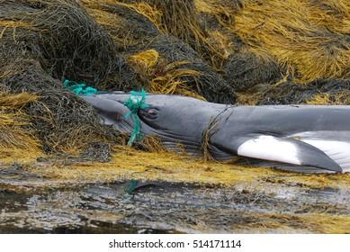 Minke whale dead due to a fishing net.