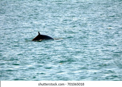 Minke whale, Faxa Bay, Iceland