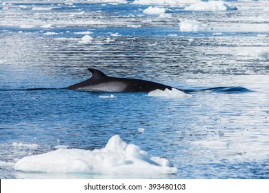 Minke Whale in icy conditions.