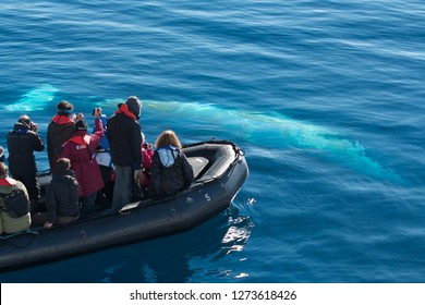 Minke whale playing with zodiac boat with tourists watching