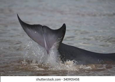 Minke Whale Strands itself in the Raritan Bay, South Amboy, NJ July 29, 2012.