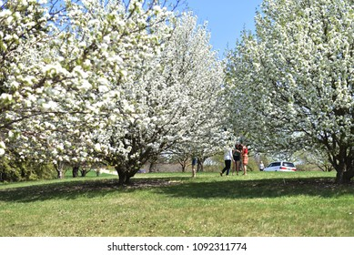 Minneapolis, Minnesota, United States - May 7, 2018: Beautiful blossoming white cherry trees in an arboretum, with people close by enjoying view of spring taking form.