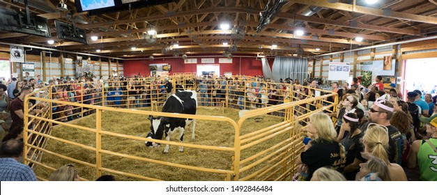 Minneapolis, Minnesota/USA - August 25 2018: Cow and calf with crowd watching at Miracle of Life Barn in Minnesota State Fair 2018