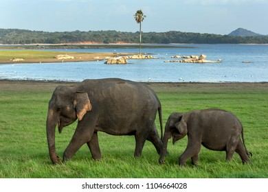 MINNERIYA, SRI LANKA - AUGUST 08, 2016 : An elephant and calf graze next to the tank or man-made reservoir at Minneriya National Park in the late afternoon.