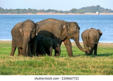 MINNERIYA, SRI LANKA - AUGUST 08, 2016 : Elephants and calves graze next to the tank or man-made reservoir at Minneriya National Park in central Sri Lanka in the late afternoon.