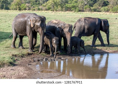MINNERIYA, SRI LANKA - AUGUST 08, 2016 : A herd of wild elephants bathe in a pool of water within Minneriya National Park in central Sri Lanka in the afternoon.