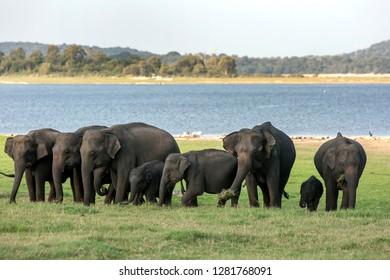 MINNERIYA, SRI LANKA - AUGUST 08, 2016 : A herd of wild elephants graze on lush grass adjacent to the tank (reservoir) within Minneriya National Park in central Sri Lanka.