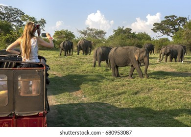 MINNERIYA, SRI LANKA - AUGUST 08, 2016 : A visitor to Minneriya National Park takes a photo of a herd of wild elephants from the back of a safari jeep in the late afternoon.