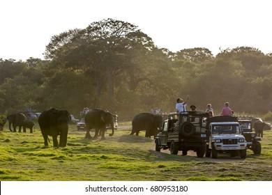 MINNERIYA, SRI LANKA - AUGUST 08, 2016 : Wild elephants graze next to safari jeeps in Minneriya National Park in central Sri Lanka in the late afternoon.
