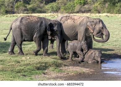 MINNERIYA, SRI LANKA - AUGUST 08, 2016 : A pair of elephants with young calves bathe at the edge of a water hole in Minneriya National Park. Minneriya is located near Habarana in central Sri Lanka.