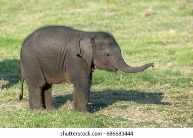 MINNERIYA, SRI LANKA - AUGUST 08, 2016 : A young elephant calf at Minneriya National Park in central Sri Lanka.