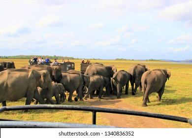 Minneriya / Sri Lanka - July16, 2018: Elephant family at Jeep safari at Minneriya National Park