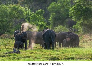 MINNERIYA, SRI LANKA - JUNE 10, 2017 : An elephant sprays itself with dirt as a group of wild elephants graze on grassland adjacent to scrub land within Minneriya National Park in central Sri Lanka.