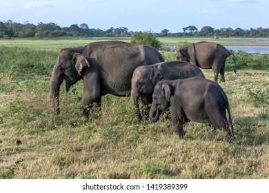MINNERIYA, SRI LANKA - JUNE 10, 2017 : A herd of wild elephants graze on grassland adjacent to the tank (man made reservoir) within Minneriya National Park in cental Sri Lanka in the late afternoon.