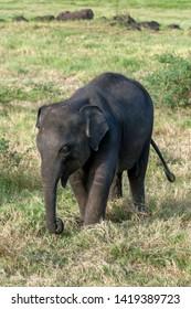 MINNERIYA, SRI LANKA - JUNE 10, 2017 : A wild elephant calf grazing on grassland adjacent to the tank (man made reservoir) within Minneriya National Park in cental Sri Lanka in the late afternoon.
