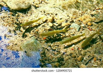 Minnow Fish Clear River Water Background