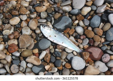 Minnow on the shore, resting on pebbles.