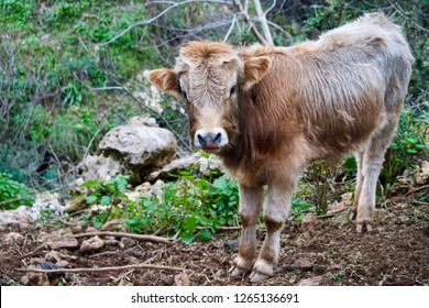 Minoan highland cows in Crete, Greece, adults and baby cows grazing in the mountains