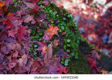 Minoo Park, Japan - November 2014 : Red Maple Leaves