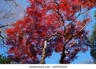Minoo Park, Japan - November 2014 : Red Maple Tree