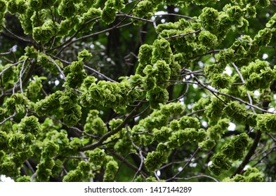 Minor elm-tree or ulmus minor branches texture with bright green blossoms and leaves