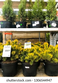 Minsk, Belarus - February 2, 2019: Coniferous plants in containers of various farmers on the shelves gardening shop, sale.